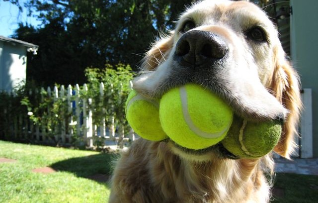 Tennis-Ball-for-Dogs (1)