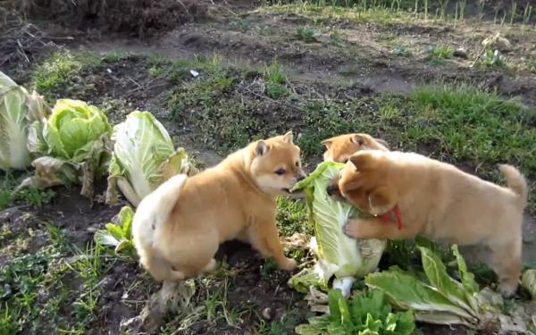 Shiba Inu Puppies Attack Cabbage Plant Barkpost