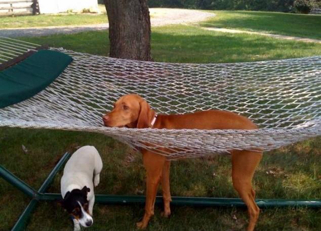 Dog-and-Hammock