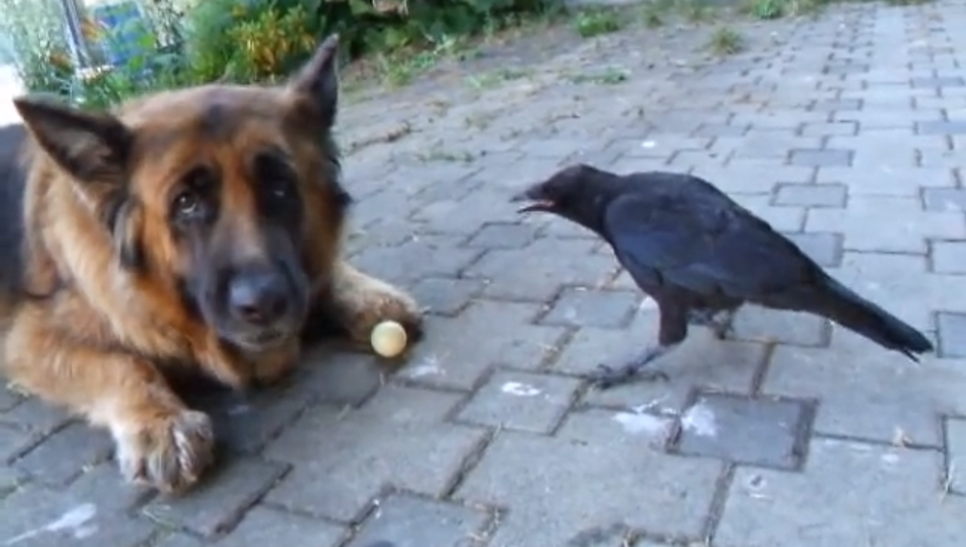 crow plays ping pong with dog