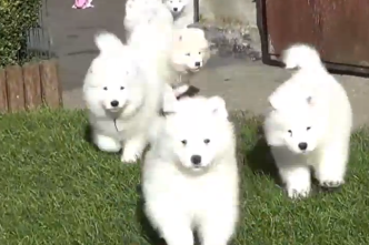samoyedpuppies