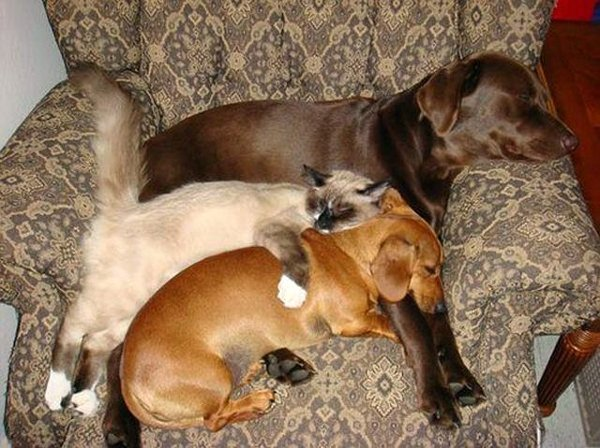 http://thebarkpost.com/30-dogs-awkwardly-sleeping/cat-and-two-dogs-sleeping-in-a-chair/
