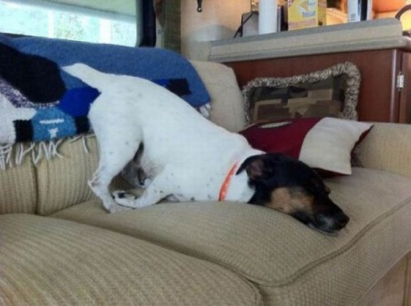 http://thebarkpost.com/30-dogs-awkwardly-sleeping/funny-sleeping-dog-11-img_assist_custom/
