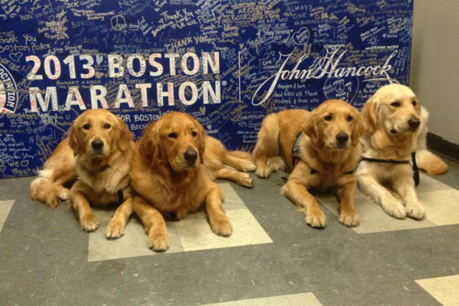 golden therapy dogs