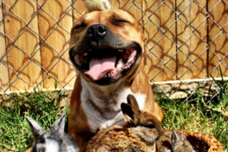 happypitbull2