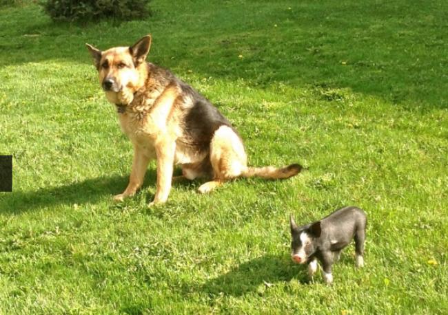 Gentle Giant German Shepherd Adopts Runt PigletGerman Shepherd Runt