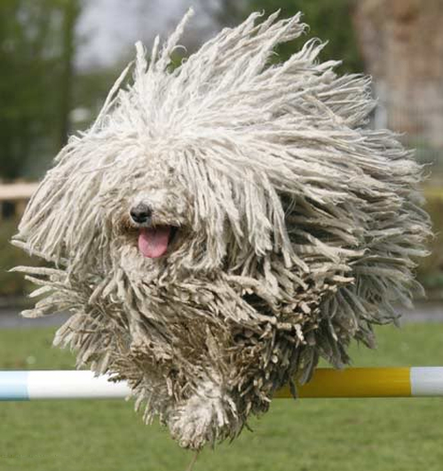 11 Oddball Dog Breeds that Show Nature's Excellent Sense ... Komondor Dog Pictures