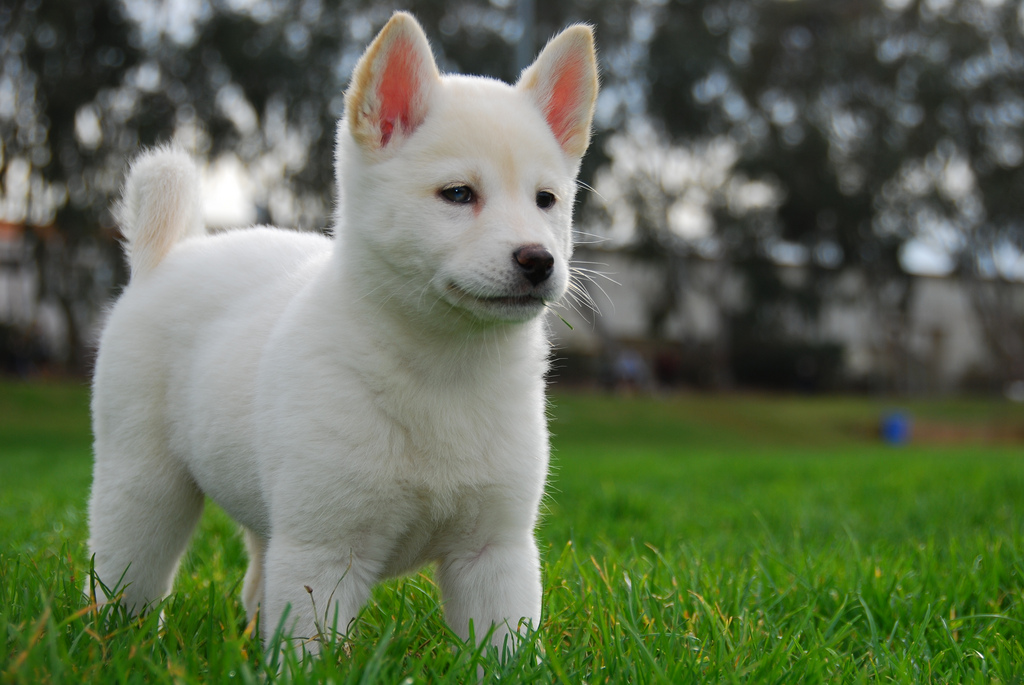 Korean Jindo Dog Breed Information Pictures  Dogtime