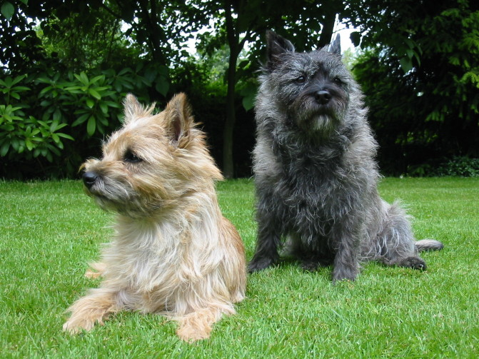 Cairn-Terrier-Garten1