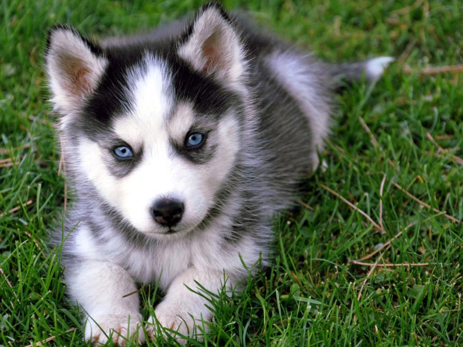 Siberian_Husky_puppy-1-