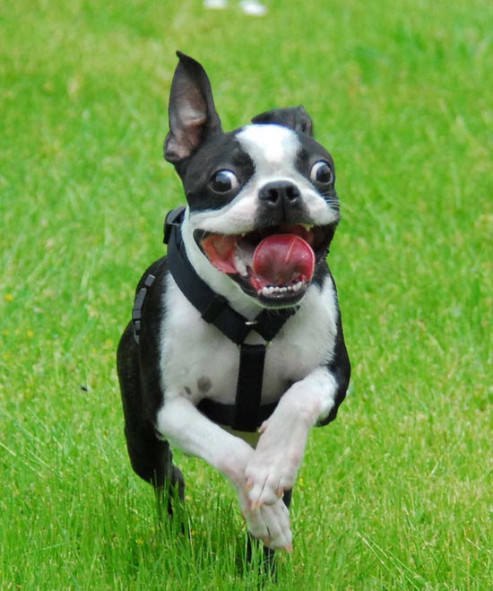 bostonterrier0